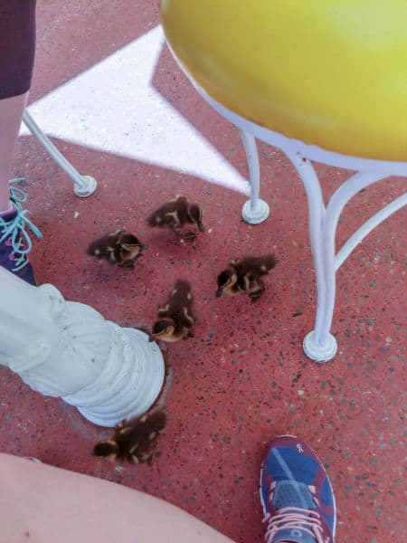 Ducklings outside The Plaza at Magic Kingdom